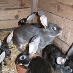 Lapins chèvre bleus